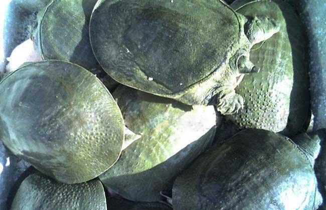甲鱼冬季养殖防止冬眠死亡
