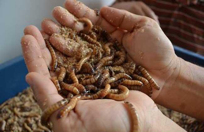 黄粉虫的养殖技术