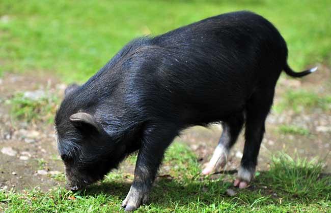 母猪产后瘫痪的病因及治疗