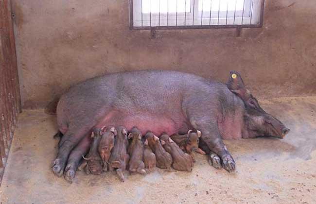 母猪产前不吃食