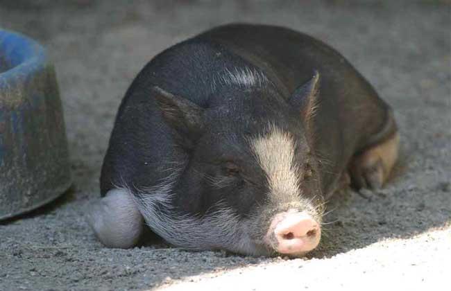母猪产后疾病