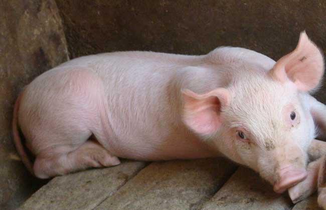 哺乳仔猪饲养管理