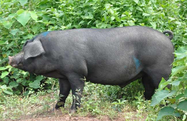 仔猪补栏饲养管理技术