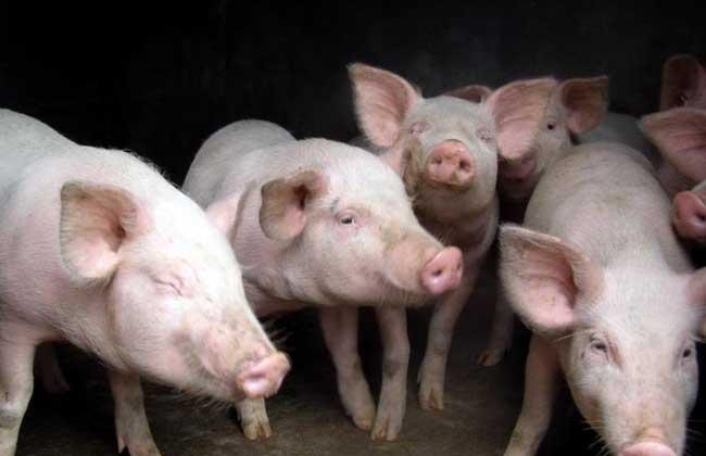 生长育肥猪管理技术