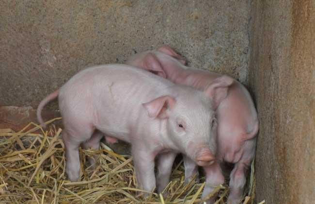 母猪发情排卵