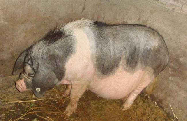 瘦肉猪的养殖管理技术