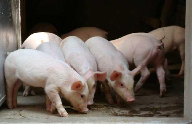 仔猪饲养管理技术