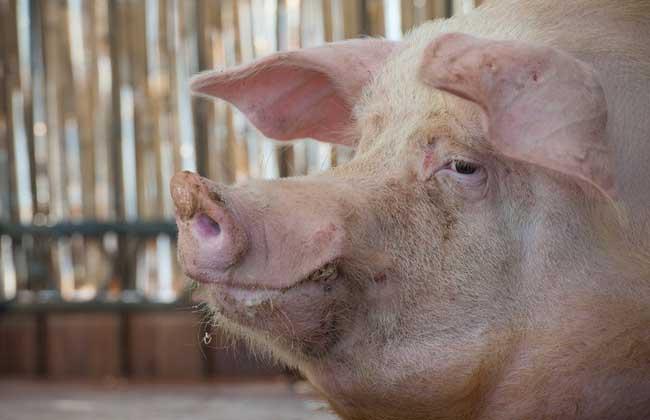养猪场母猪饲养管理
