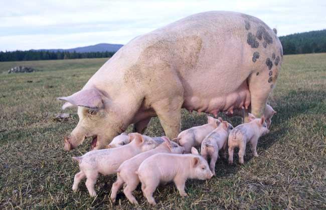 母猪产后护理