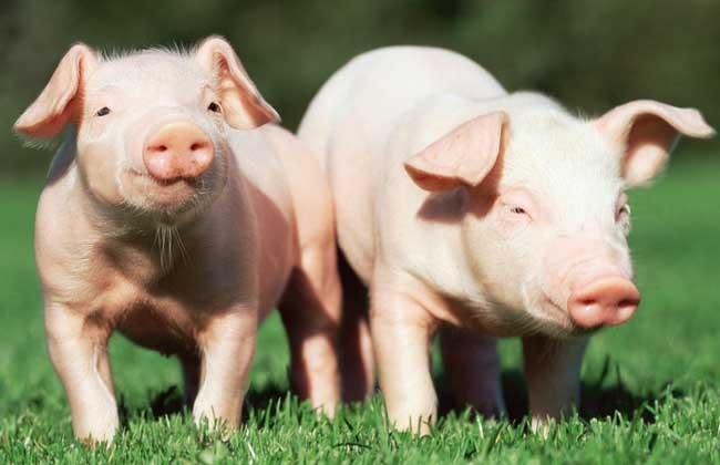 母猪饲养管理技术