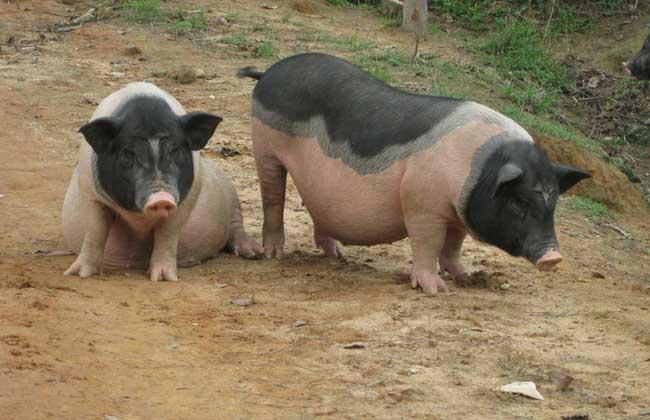 哺乳母猪的饲养管理技术