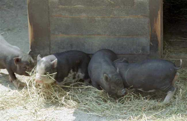空怀母猪的饲养管理技术
