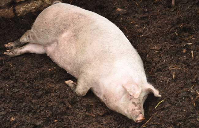 农村养猪技术