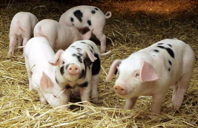农产品养猪专题信息