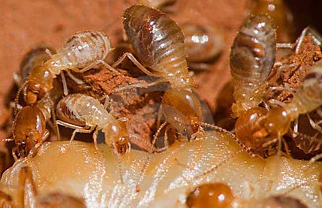 白蚁吃什么