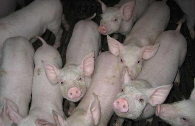 发酵床养猪技术及视频