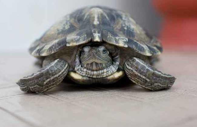 乌龟白眼病怎么治疗