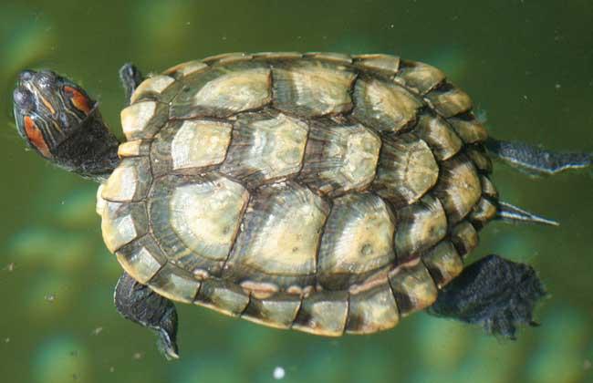 乌龟冬眠后不苏醒了