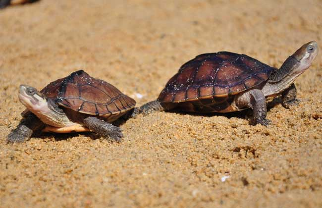 乌龟蛋怎么孵化