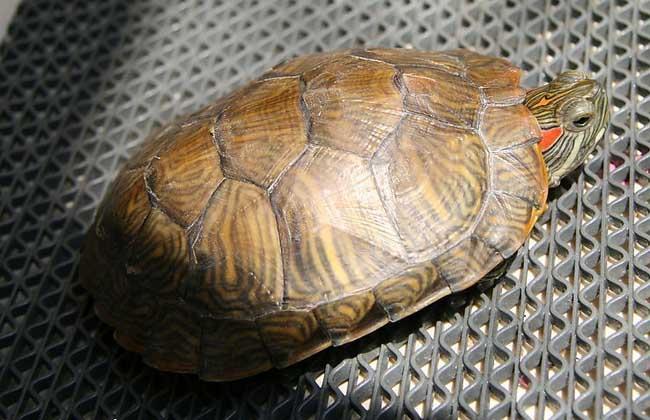 小乌龟怎么养