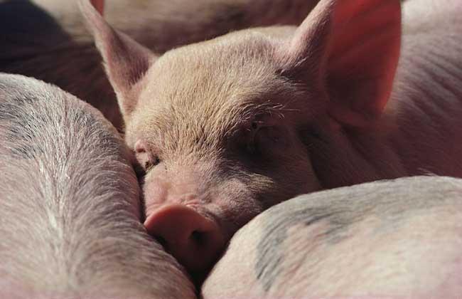 规模化养猪效益