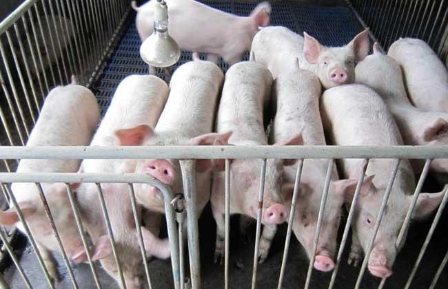 香猪养殖前景