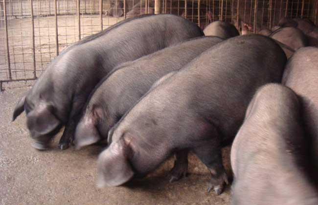 沼液养猪技术