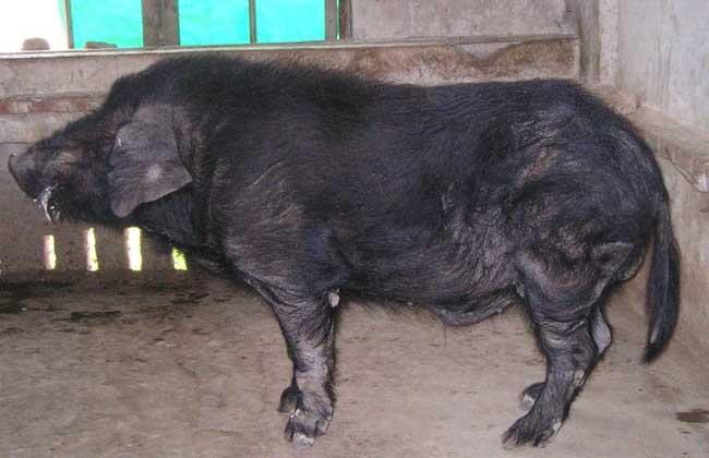 猪流感的症状