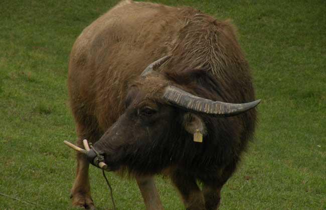牛的驱虫技术