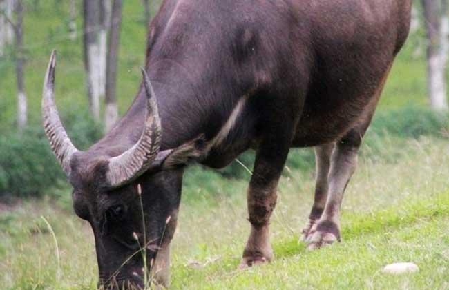 牛养殖的驱虫和防病技术