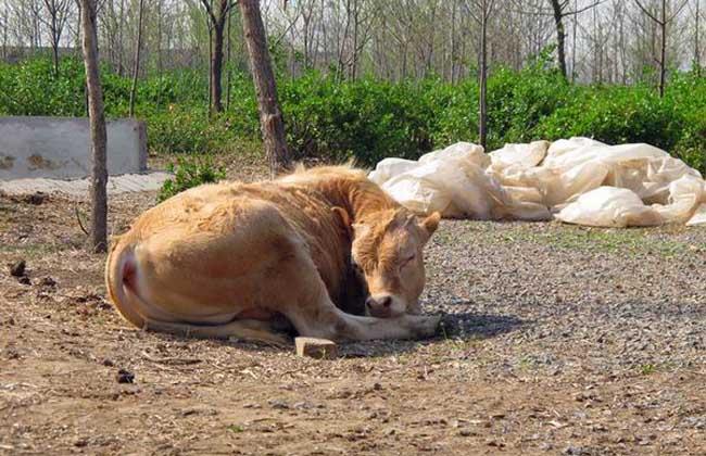 肉牛常见疾病
