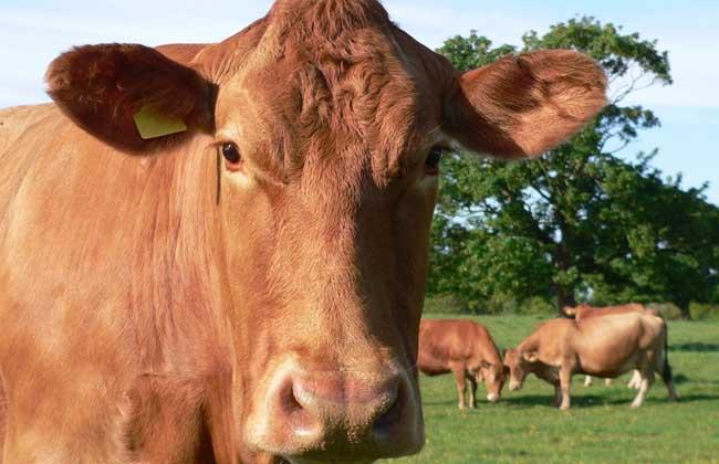犊牛散养管理技术