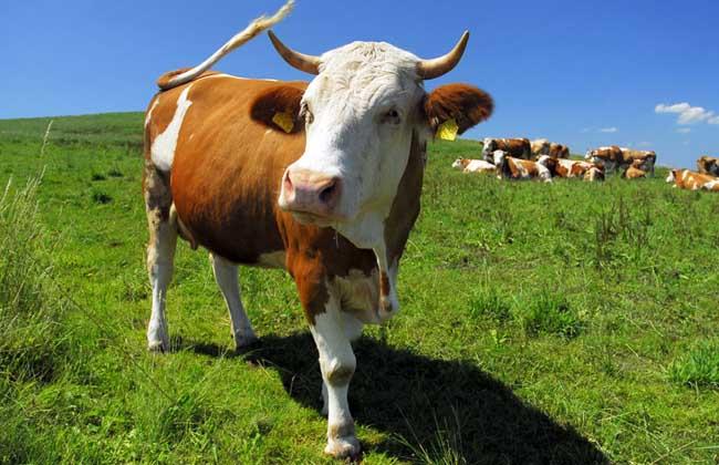 奶牛冬季防冻害的处理措施