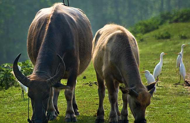肉牛养殖成本