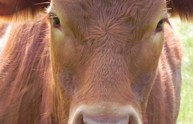 养一头牛能赚多少钱