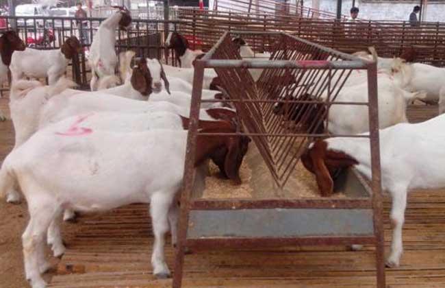 羊养殖饮水技术