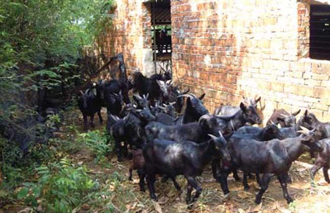农村羊养殖