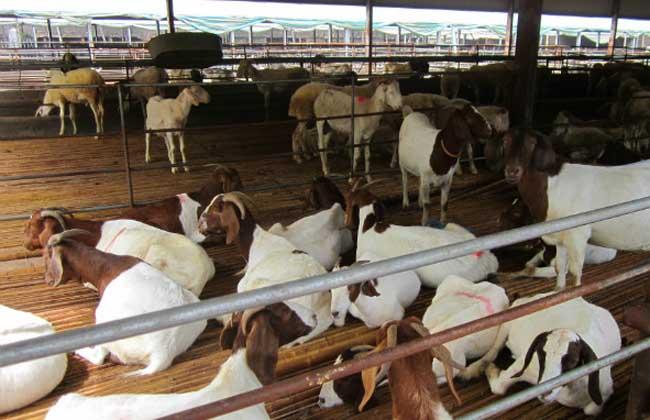 贵州山区养羊