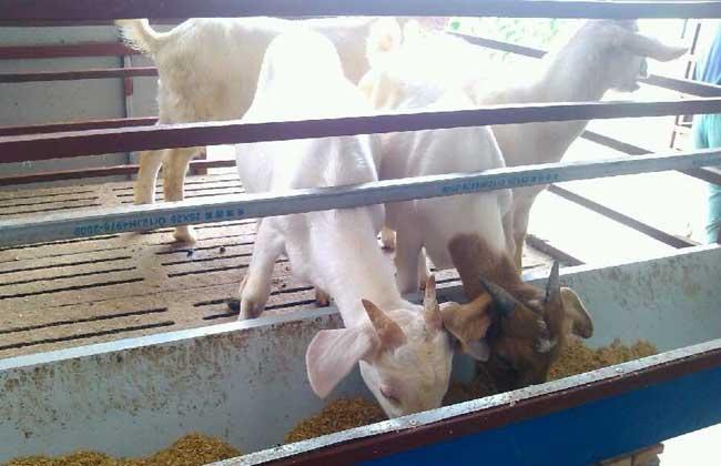 小尾寒羊养殖技术