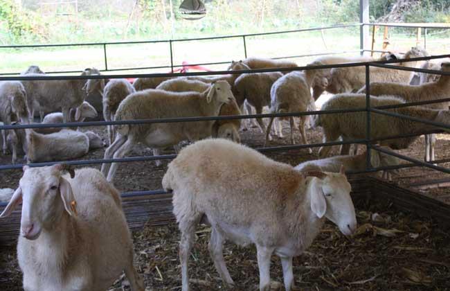 牧草养羊技术