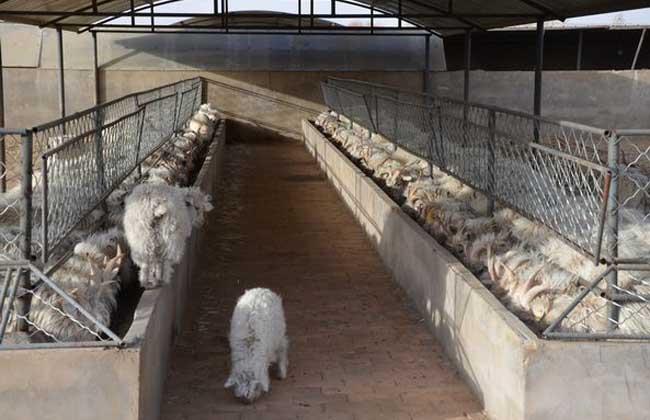 小尾寒羊的繁殖技术