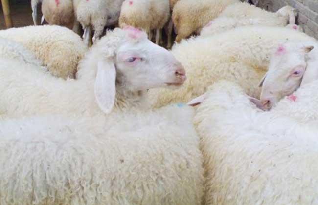 如何养羊能赚钱