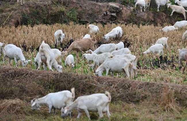 春季如何给羊群修蹄