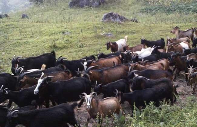 黑山羊的品种