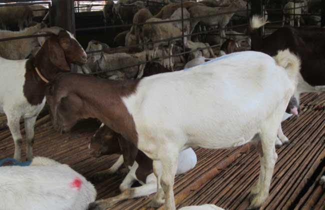 圈养羊品种