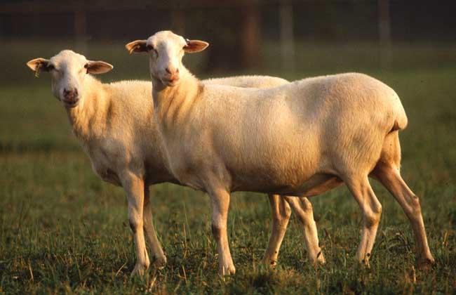 养什么羊好