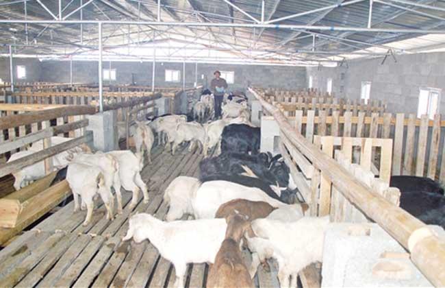 母羊多产羊羔