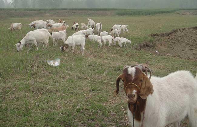 纯种波尔山羊