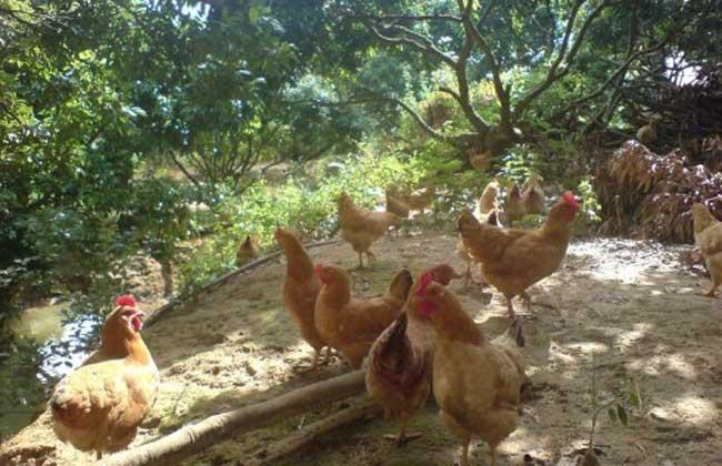 冬季养鸡场管理方案