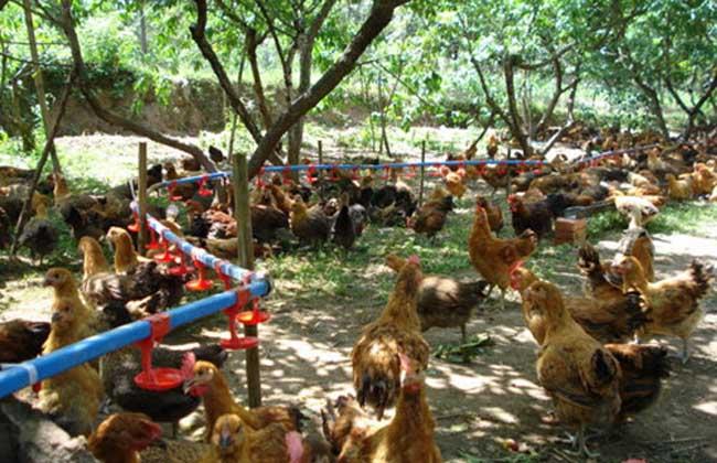 果园散养柴鸡的饲养技术
